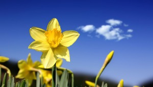 daffodil-19361-2560x1600